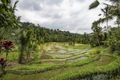 Terraced Rice Fields Bali Indonesia